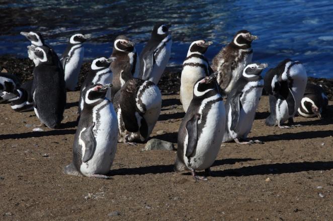 isla magadelna penguins